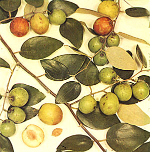 indian-jujube.jpg (58189 bytes)