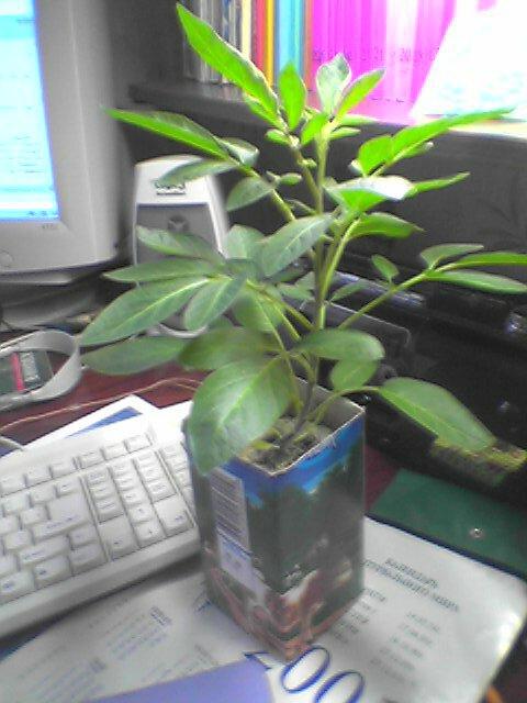 Экзотические комнатные растения комнатные плодовые